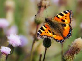 Attract-butterflies
