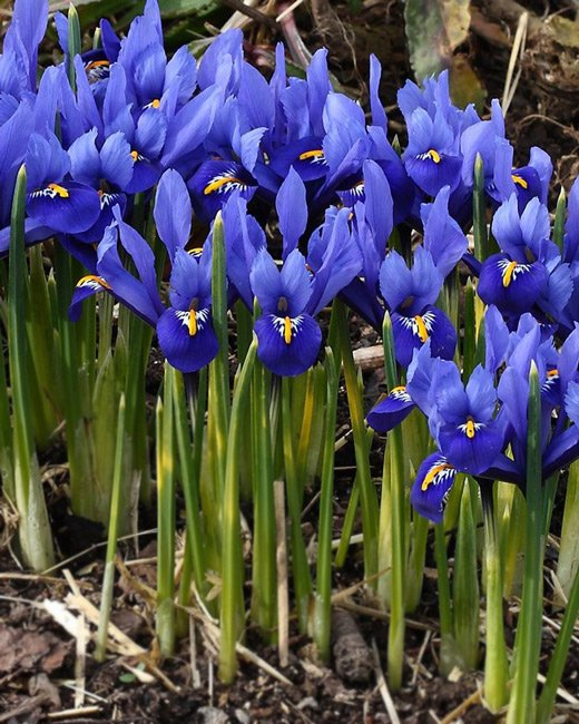 Dwarf-iris-reticulata