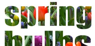 Spring-bulbs