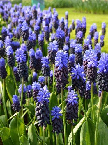 Grape-hyacinths-etsy