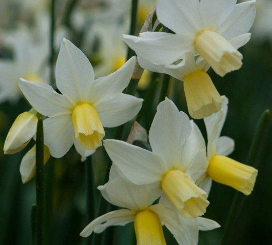 Narcissus-toto