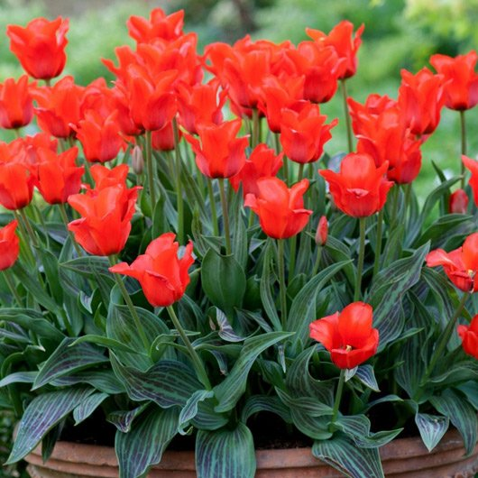 Red-Riding-Hood-dwarf-tulips